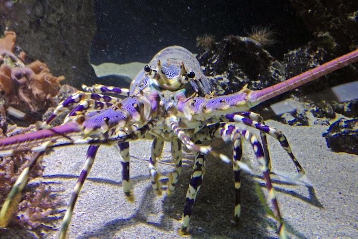 Languste DanielAbedNavandi Neue Riesenkrebse im Haus des Meeres