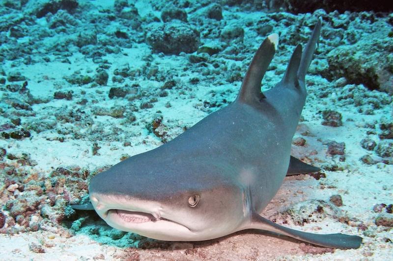 Weißspitzenriffhai MichaelMitic Müssen Haie immer schwimmen?