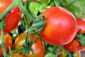 Prostatakrebs: Tomaten senken Risiko signifikant
