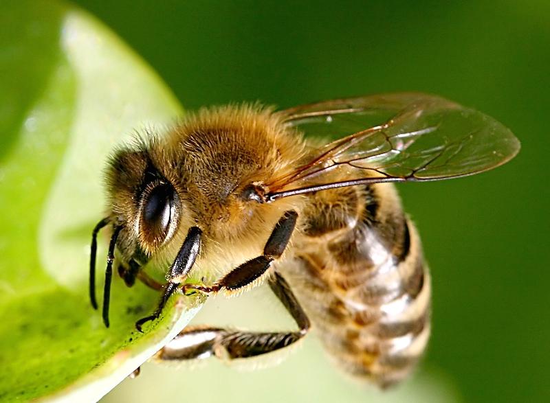 384836 original R by JPW. Peters pixelio.de  Erste Hilfe bei Bienen  oder Wespenstich