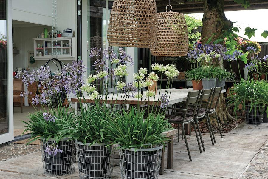 Lavendel und Schmucklilie sind ein farbenprächtiges Duo. Foto: Pflanzenfreude.de/akz-o